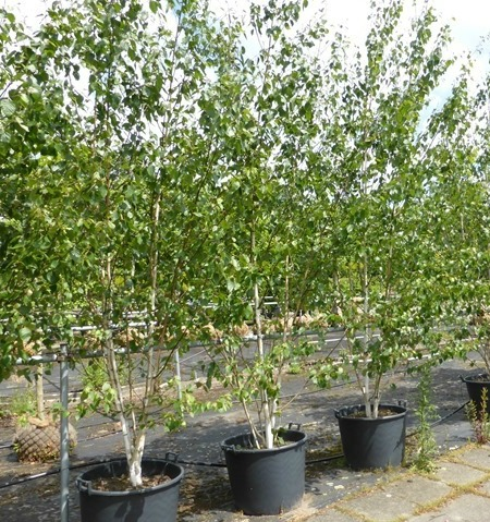 Multi stemmed birch trees lined up for the garden